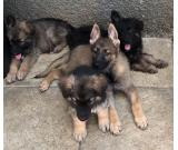 Long Haired German Shepherd Puppies