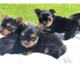Yorkshire Terrier Puppies Text +1 903-662-8647