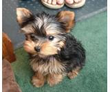 Affectionate Teacup Yorkie puppies