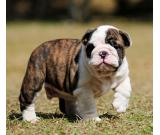 nice breed english  bulldog puppy available +14695670990