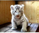 Quality Male and female Tiger cubs looking for Good homes.(mariacooms70@gmail.com )