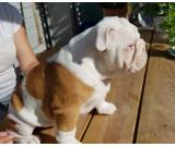 Beautiful English bulldog puppy for adoption