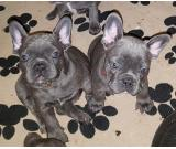 Male & Female Blue French Bulldog Puppies Available