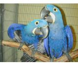 Hand Tamed **Hyacinth Macaw** Parrot Available