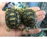 SOUTH AFRICAN LEOPARD TORTOISES
