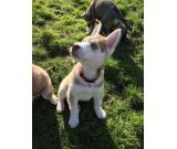 Absolutely Gorgeous Husky Puppies for sale