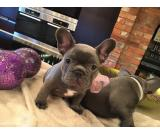 smart blue French Bulldog Pups