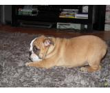 Gorgeous Exceptional Female English Bulldog Puppy