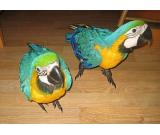Beautiful Blue and Gold Macaw Parrots For sale