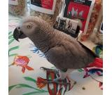 BABY HAND RAISED AFRICAN GREY PARROTS FOR SALE AND ADOPTION