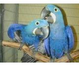 Healthy Pair of Macaw Parrots for Free