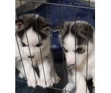 cute blue eyes husky puppies