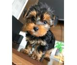Yorkie babies looking for new homes.