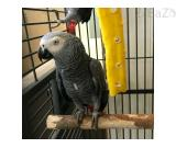 Adorable African grey parrot for sale.