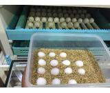 Healthyful and fertile parrot eggs