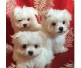 Cute and adorable Home / potty trained Maltese puppies