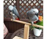 Talking Male and female African Grey parrots for adoption.