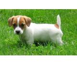 Wonderful Healthy Jack Russell Puppies for sale