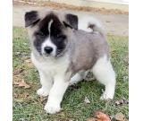 Tanny the Adorable Akita Puppies ready for sale