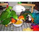 macaw parrots, cockatoos, caiques, parakeets, greys, Amazon and fertile eggs for sale