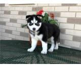 Siberian Husky puppies for Rehoming