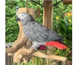 OUTSTANDING AFRICAN GREY PARROTS FOR SALE +1 (706) 521-4169
