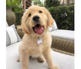 AKC GOLDEN RETRIEVER PUPPY FOR SALE