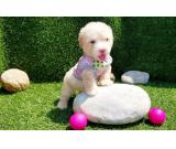 Affectionate Maltipoo Puppies