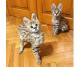 Beautiful Serval and F1 Savannah Kittens Available