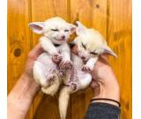 Male Fennec Fox For Sale