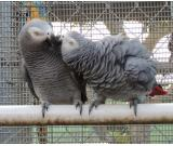 Adorable Pair of VET checked and DNA Tested Congo African Grey Parrots