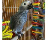 Pair African Grey Parrots Available   Text +1 (724) 241-3049