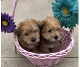 lovely male and female yorkie puppies.