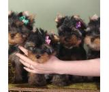 cute male and female yorkie puppies