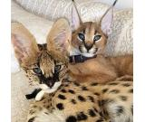 Savannah kitten available for sale. Savannah kitten available