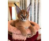 Caracal kitten available for sale