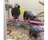 African Grey Parrot are Ready for a new home