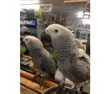 Male and Female African Grey Parrot available for re homing