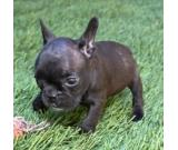 Pure AKC Registered French Bulldog Puppy For Adoption