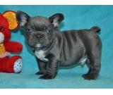 100% Genuine Pure Blue French Bulldog puppies Text Us At (217) 471-7677