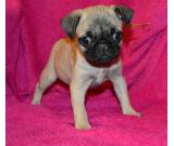Bulky Male & Female Pugs Pups