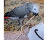 CUTE AFRICAN GREY PARROTS FOR SALE Call or Text +1 (706) 521-4169