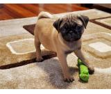 lovley pug puppy  MALE AND FEMALE ready now