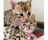 Exotic Bengal Kittens looking mini leopards!