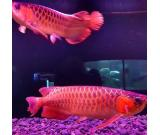 Quality Asian Arowana and Albino Stingray Fish for sale
