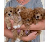Quality maltipoo puppies ready and available to go to their new home