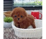 LOVELY Teacup Poodle puppies.Contact 832 779-5495