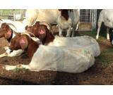 Boer Goats,Sheep, Poultry And Cattle For Sale Whatsapp +27631521991